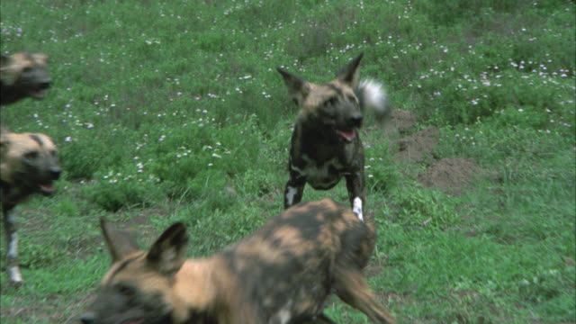 CLOSE ANGLE OF HYENAS OR WILD DOGS RUNNING THROUGH A GRASSY FIELD.
