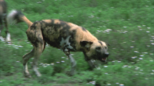 MEDIUM ANGLE OF HYENAS OR WILD DOGS RUNNING THROUGH A GRASSY FIELD WITH LARGE ROCKS OR BOULDERS IN THE BG.