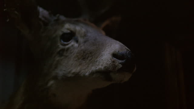 close angle of deer head hanging on wall. antlers visible. taxidermy. could be hunting lodge. - stuffed stock videos & royalty-free footage