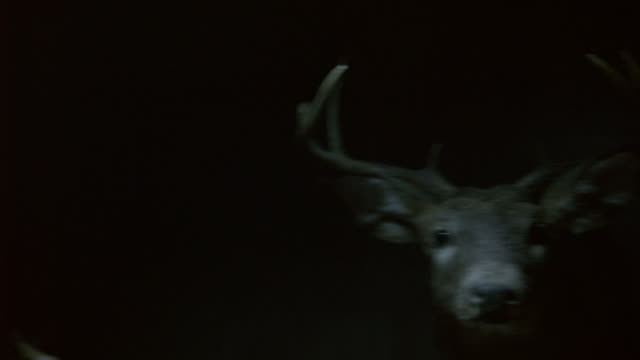 close angle of deer head hanging on wall. antlers visible. taxidermy. could be hunting lodge. - cervo cervide video stock e b–roll