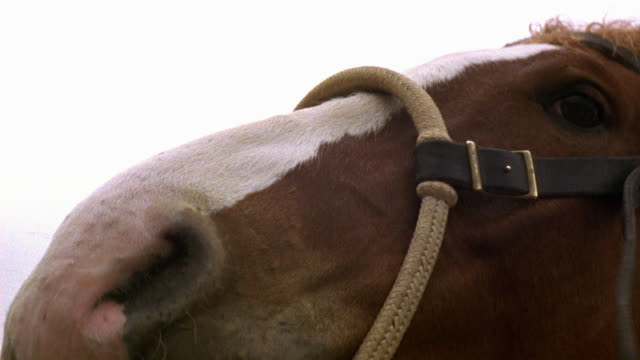 close angle of horse shaking head up and down. horse wears a harness attached with rope. could be used for a horse trying to get away. animal stunts. - animal harness stock videos and b-roll footage