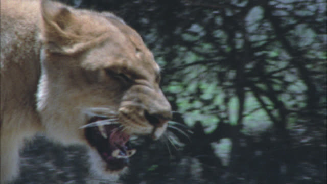 vídeos de stock e filmes b-roll de close angle of lioness snarling and growling, backing away. aggressive. bushes and brush in bg - 1974