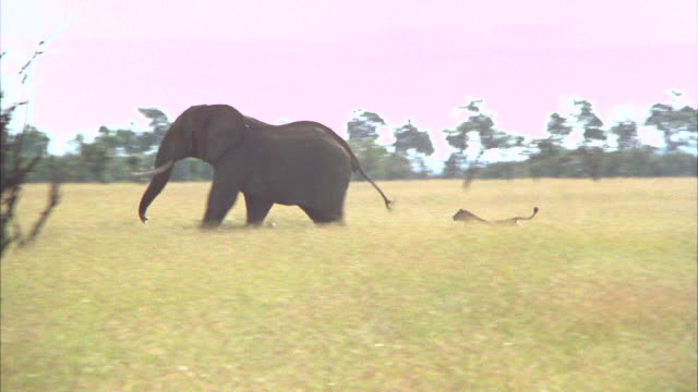 wide angle of lioness chasing elephant through open, grassy field with trees. veldts. wildlife. animals. - 1974 stock-videos und b-roll-filmmaterial