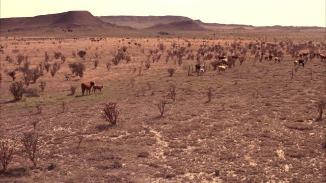 pan left to right of cattle and dirt road as car passes. cows and calves graze on desert shrubs. dirt road enters frame and 1940s car appears driving away from camera. telephone lines and poles visible in fg. fence along road. rural area, desert landscape - 1940 1949 video stock e b–roll