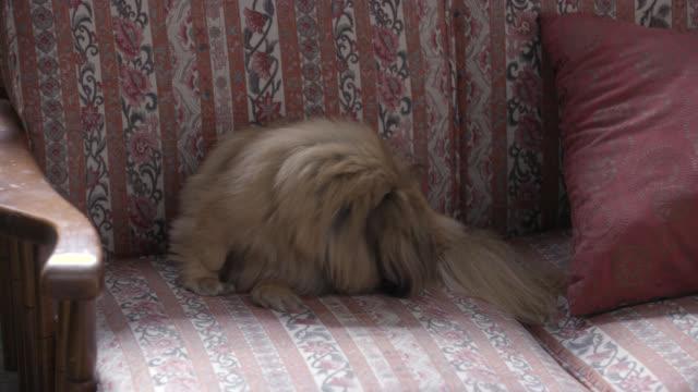 medium angle of dog sitting on couch wagging tail. pekingese. dog licks leg. - 動物の脚点の映像素材/bロール