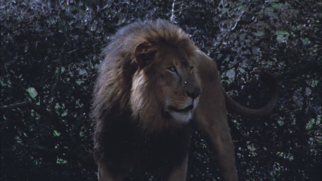 vidéos et rushes de close angle of lion standing in clearing. bushes in bg. - lion