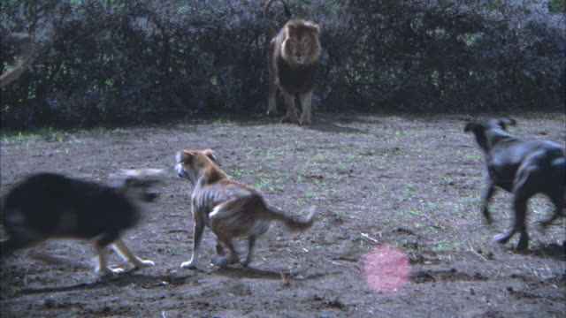MEDIUM ANGLE OF A LIONESS CHASING WILD DOGS IN SMALL CLEARING WITH BRUSH AND BUSHES IN BG. LION WATCHING.