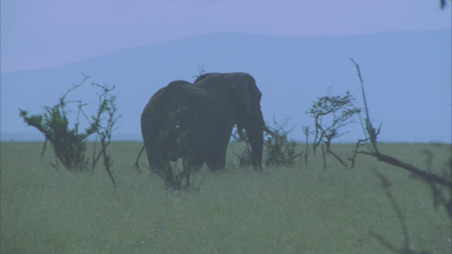 WIDE ANGLE OF AN ELEPHANT RUNNING THROUGH A GRASSY FIELD WITH TREES. VELDTS. WILDLIFE.