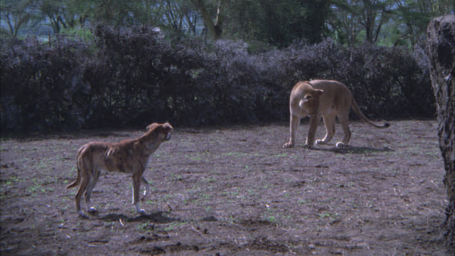 MEDIUM ANGLE OF A WILD DOG STANDING IN FRONT OF A LIONESS LAYING DOWN ON THE GROUND. BRUSH AND BUSHES IN BG. LION WATCHING.