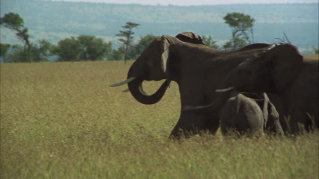 WIDE ANGLE OF ELEPHANTS WALKING THEN RUNNING THROUGH AN OPEN, GRASSY FIELD OR PLAIN. TREES IN BG. WILDLIFE. VELDTS.