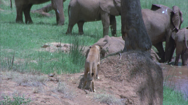wide angle of a lioness standing on a dirt hill overlooking a small group of elephants, calves standing in an open, grassy field next to a lake, river or watering hole. - 1974 bildbanksvideor och videomaterial från bakom kulisserna