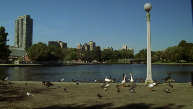 wide angle of white ducks and pigeons standing in front of pond in park. high rise apartment buildings, condominiums or office buildings in bg. skylines. could be in any major city. could be lincoln park. - anatra uccello acquatico video stock e b–roll