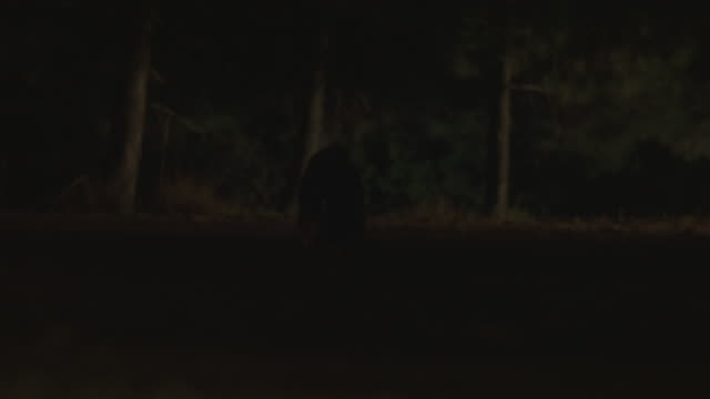 wide angle of raccoon in middle of dark road or highway eating. headlights from unseen car shine on animal and animal runs off road. could be future road kill. rope attached to stunt animal seen. - stunt stock-videos und b-roll-filmmaterial