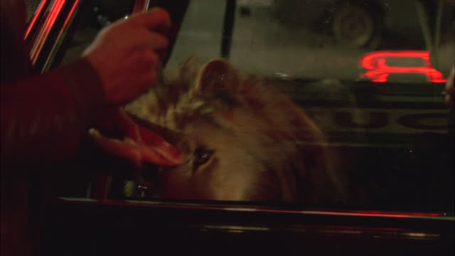 medium angle of lion locked in backseat of small coupe car. two men unwrap cheeseburgers or hamburgers and feed lion through small crack or slot in car window. eating. animals. stunt. humorous. neon sign reflected in window. - undomesticated cat stock videos & royalty-free footage