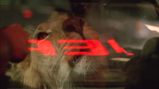 close angle of lion locked in backseat of small coupe car. two men unwrap cheeseburgers or hamburgers and feed lion through small crack or slot in car window. eating. animals. stunt. humorous. neon sign reflected in window. - stunt stock-videos und b-roll-filmmaterial