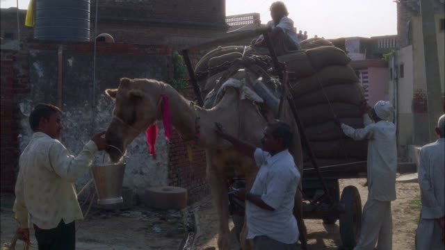 medium angle of camel with cart attached, could be holding sacks of grain. man holds bucket of water for camel to drink. - grain cart stock videos & royalty-free footage