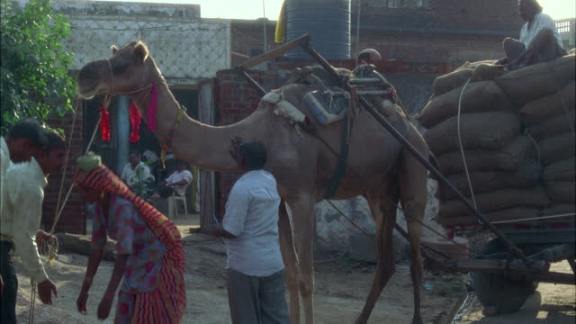 medium angle of camel with cart attached, could be holding sacks of grain. woman carrying water on her head. - grain cart stock videos & royalty-free footage