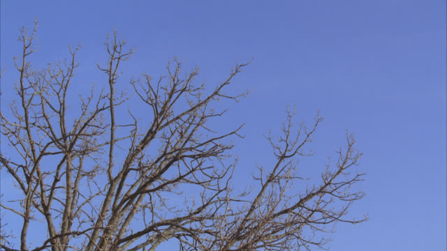 vídeos de stock e filmes b-roll de up angle of bare tree branches on tree. blue sky in bg. winter. - bare tree