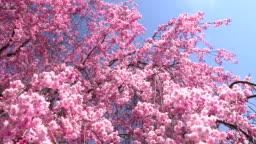 風に揺れるピンクの桜