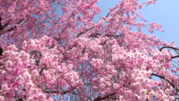 風に揺れるピンクの桜と青い空