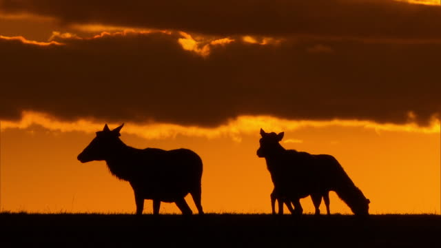 cows and sunset - livestock stock videos and b-roll footage