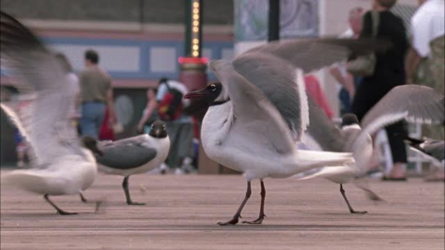 vídeos de stock, filmes e b-roll de close angle of black and white seagulls flapping around on boardwalk. - atlantic city
