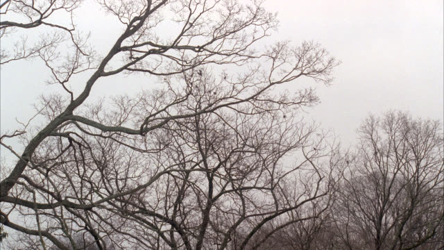 wide angle of flock of birds flying and landing in bare branches of trees. overcast sky. could be woods or forest. - overcast stock videos & royalty-free footage