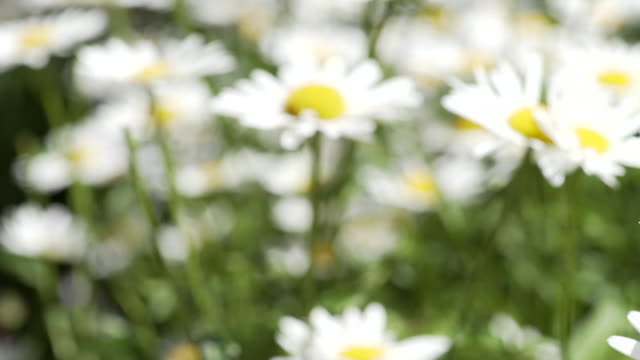oxeye daisy - daisy stock videos and b-roll footage