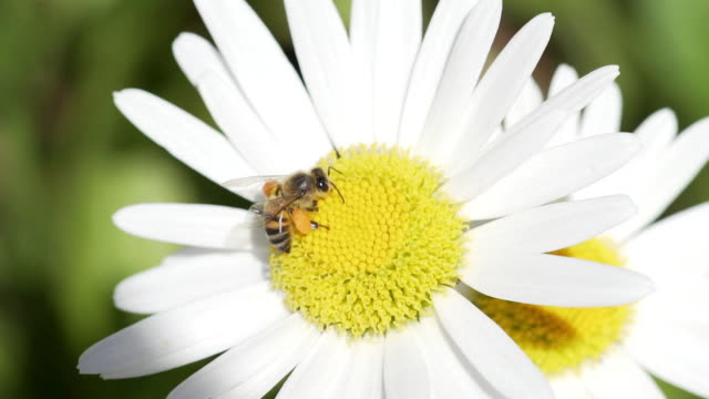 vidéos et rushes de honey bee covered in pollen from daisy. - marguerite