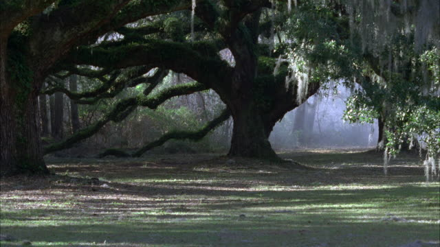 wide angle of oak tree with spanish moss hanging from branches. shaded, grass covered ground in foreground. countryside. sunlight diffused through fog, mist, or haze. group of men riding horseback and wearing colonial era clothes approach from right, trac - oak tree stock videos and b-roll footage