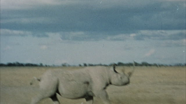 CLOSE UP - BACK POINT OF VIEW - HUNTER'S HEAD - RHINOCEROS CHARGES IN FROM BACKGROUND AND IS SHOT.