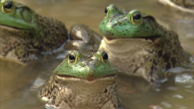 vídeos y material grabado en eventos de stock de frogs - rana