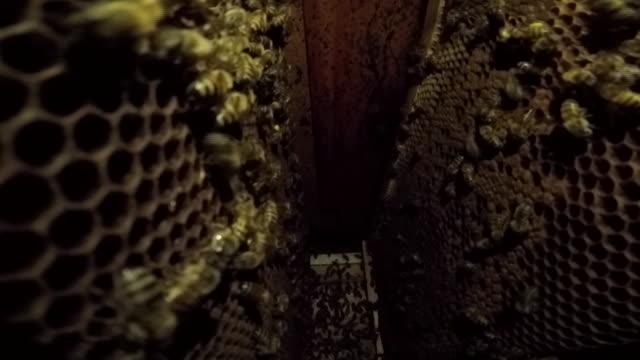 stockvideo's en b-roll-footage met bees - honingbij