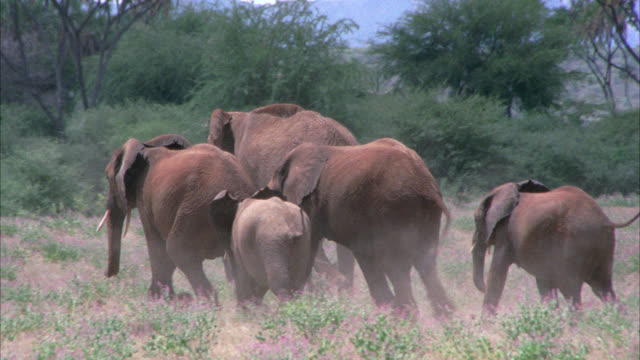 vídeos de stock e filmes b-roll de pan right to left of group of elephants, including babies, in african grassland or savannah. trees, grass, bushes and shrubs. lioness hunting. - 1974