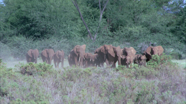 WIDE ANGLE OF HERD OF ELEPHANTS. TREES, BUSHES OR SHRUBS. COULD BE IN AFRICAN GRASSLAND, VELDT OR SAVANNAH.