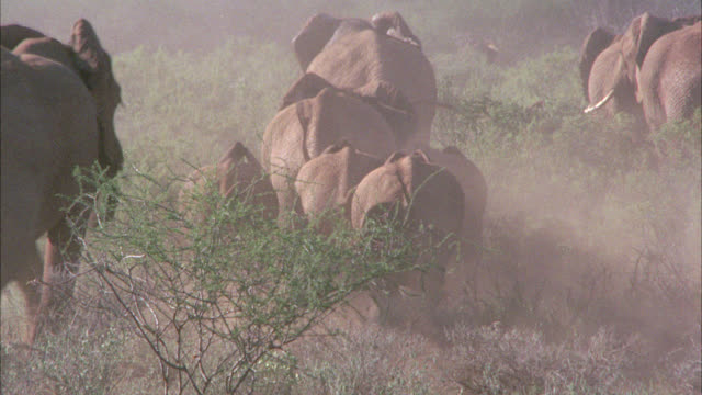 stockvideo's en b-roll-footage met wide angle of herd of elephants running. could be stampede. dust. trees, bushes or shrubs. could be in african grassland, veldt or savannah. - op hol slaan