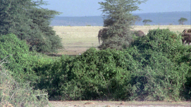 WIDE ANGLE OF HERD OF ELEPHANTS IN GRASSLAND, VELDT OR SAVANNAH. BUSHES AND SHRUBS.