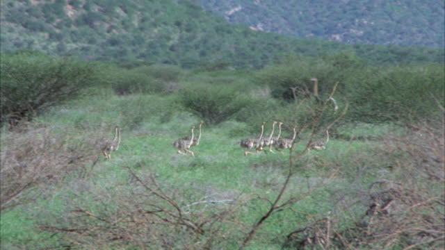 vidéos et rushes de wide angle of many young ostriches and one adult ostrich running in grassland, field or savannah. tress, bushes or shrubs. birds. - oiseau qui ne vole pas