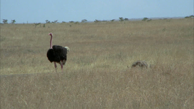 vidéos et rushes de wide angle of two ostriches, one male and one female in dry grass of savannah, field or grassland. birds. - oiseau qui ne vole pas