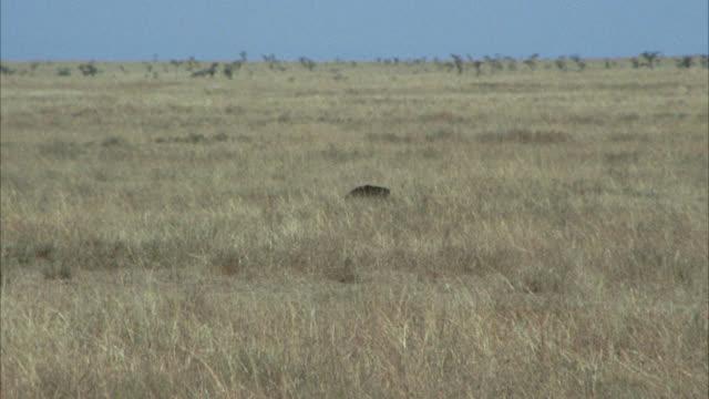 vidéos et rushes de wide angle of ostriches in dry grass of savannah, field or grassland. birds. - oiseau qui ne vole pas