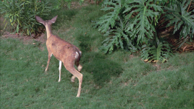 medium angle of deer grazing or eating grass. could be in gardens, lawn or yard. tropical plants and flowers. - deer stock videos & royalty-free footage