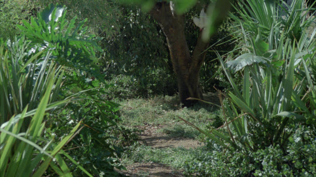 wide angle of leopard or wild cat jumping up tree in forest or jungle. could be hunting. white bird prop in tree. could be in southeast asia. - bird hunting stock videos & royalty-free footage