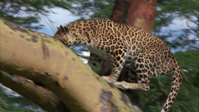 vídeos y material grabado en eventos de stock de pan left to right as leopard or wild cat walks through grass, plants, and bushes then leaps or jumps up and into tree. multiple takes. - felino grande