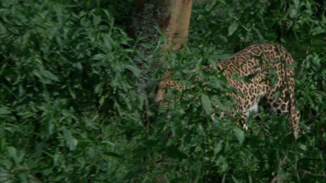 vídeos y material grabado en eventos de stock de pan right to left of leopard or wild cat walking through grass, plants, bushes and foliage then jumping up onto tree branch. - felino grande