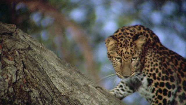 up angle of leopard or wild cat on tree trunk or branch. panting. could be in southeast asia. - ヒョウ点の映像素材/bロール