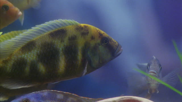 vídeos de stock, filmes e b-roll de close angle to african and south american cichlids / tropical fish / aquarium - peixe tropical