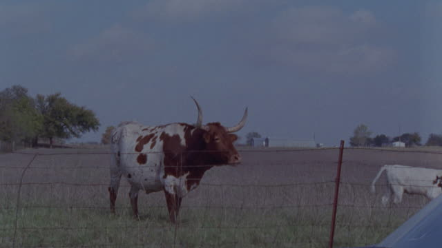 wide angle shot of brown and white bull standing behind barbed wire fence in field. cow in bg walks from l-r off screen. windshield of car in bottom right corner of screen. - bull animal stock videos & royalty-free footage