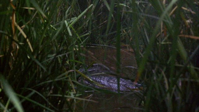 MEDIUM ANGLE OF ALLIGATOR OR CROCODILE IN LAKE, SWAMP, OR WETLANDS. SEE POV PEER THROUGH THICK LAYER OF GREEN FOLIAGE OR VEGETATION. SEE ALLIGATOR MOVE SLOWLY THROUGH WATER. SEE WATER SPLASH AND WHITE WATER RISE AS VIOLENT ATTACK OCCURS. ALLIGATOR MAY HAV