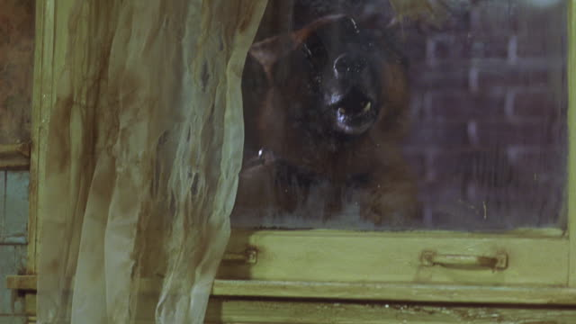 medium angle of german shepherd dog barking outside closed window with yellow sash and dingy curtains. - sash window stock videos and b-roll footage