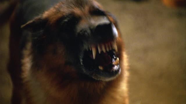 medium angle of german shepherd dog on chain barking ferociously. - chain stock videos and b-roll footage